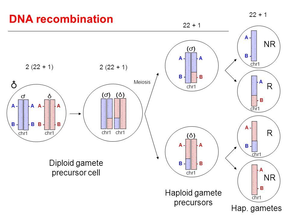 Diploid gamete precursor cell () Haploid gamete precursors Hap. gametes NR R R A - B - - A - B A - B - - A - B A - B - - A - B A - B - - A - B A - B -