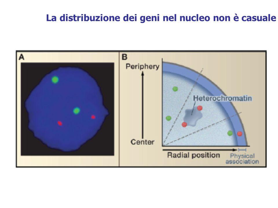 La distribuzione dei geni nel nucleo non è casuale