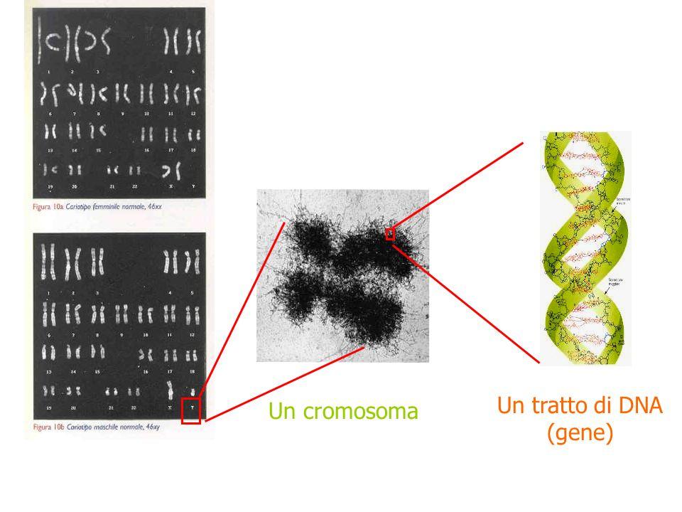 Un cromosoma Un tratto di DNA (gene) Cariotipo