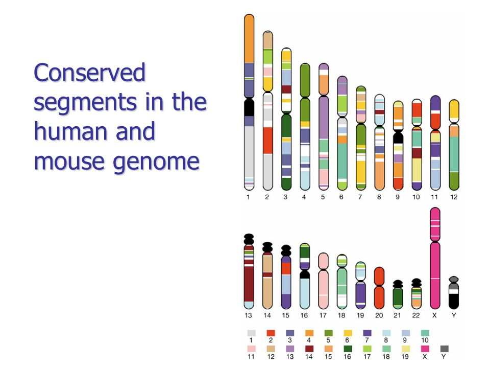 Conserved segments in the human and mouse genome