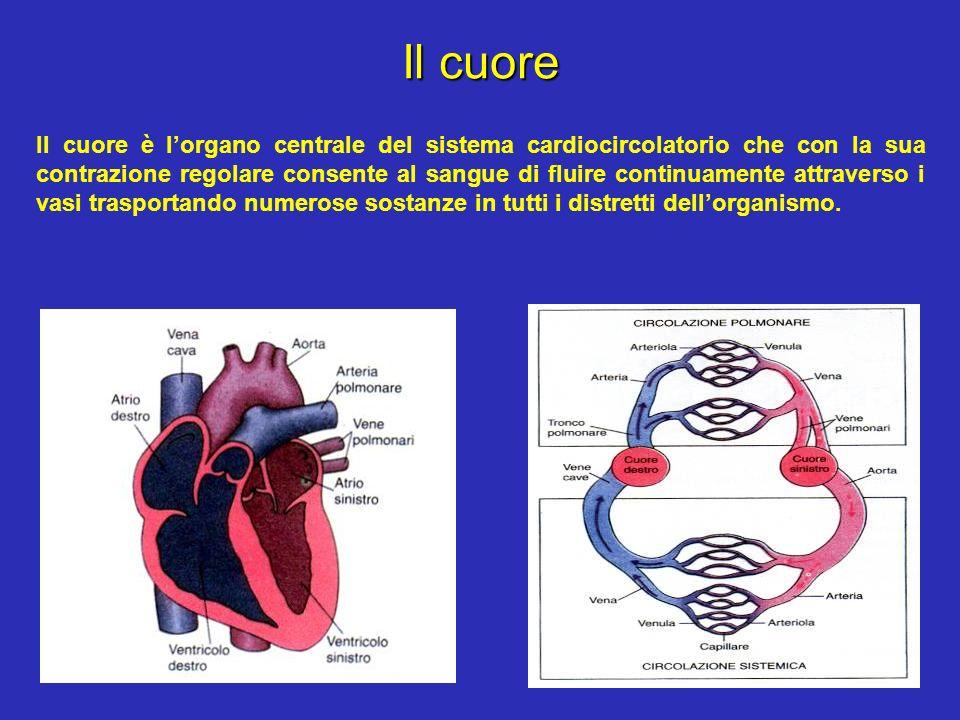 Il cuore Il cuore è lorgano centrale del sistema cardiocircolatorio che con la sua contrazione regolare consente al sangue di fluire continuamente att