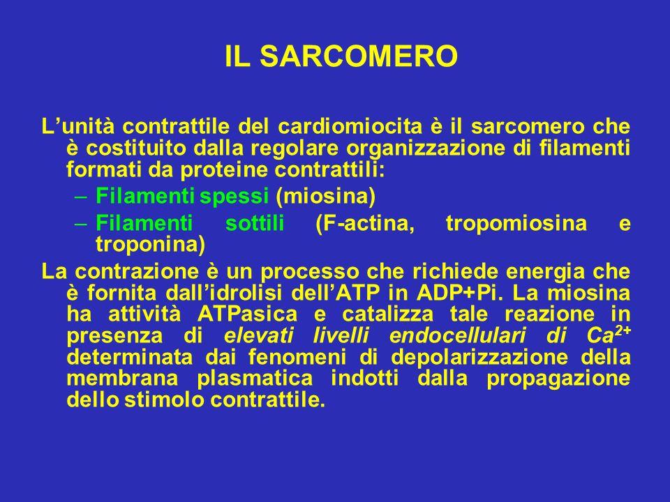 IL SARCOMERO Lunità contrattile del cardiomiocita è il sarcomero che è costituito dalla regolare organizzazione di filamenti formati da proteine contr