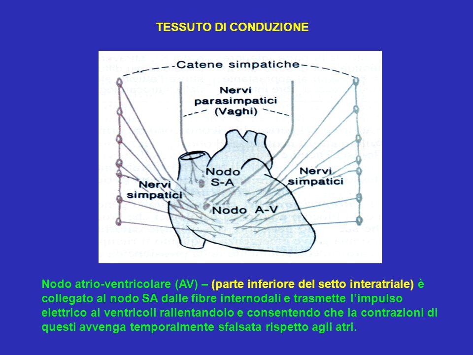 Nodo atrio-ventricolare (AV) – (parte inferiore del setto interatriale) è collegato al nodo SA dalle fibre internodali e trasmette limpulso elettrico