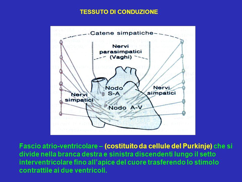 Fascio atrio-ventricolare – (costituito da cellule del Purkinje) che si divide nella branca destra e sinistra discendenti lungo il setto interventrico