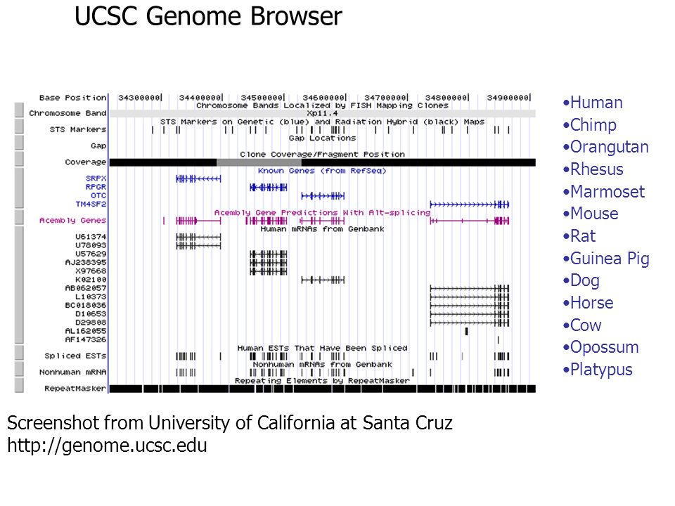 UCSC Genome Browser Screenshot from University of California at Santa Cruz http://genome.ucsc.edu Human Chimp Orangutan Rhesus Marmoset Mouse Rat Guin