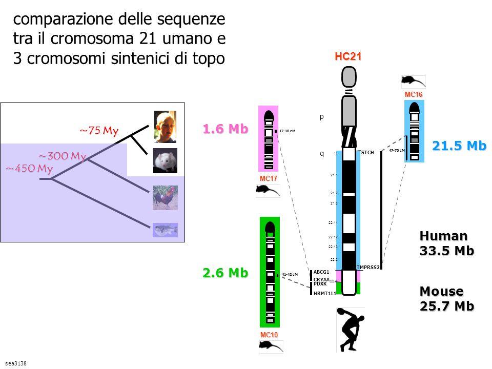 comparazione delle sequenze tra il cromosoma 21 umano e 3 cromosomi sintenici di topo sea3138 21.5 Mb 1.6 Mb 2.6 Mb Mouse 25.7 Mb Human 33.5 Mb ~75 My