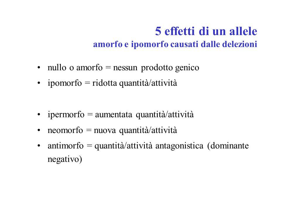 5 effetti di un allele amorfo e ipomorfo causati dalle delezioni nullo o amorfo = nessun prodotto genico ipomorfo = ridotta quantità/attività ipermorf