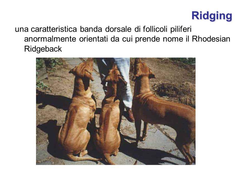Ridging una caratteristica banda dorsale di follicoli piliferi anormalmente orientati da cui prende nome il Rhodesian Ridgeback