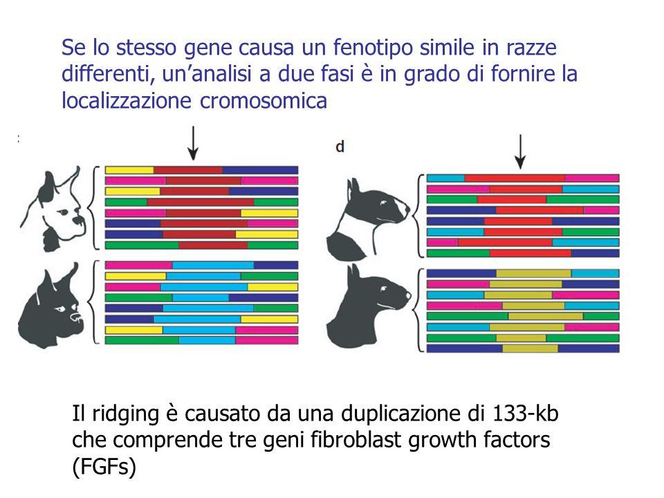 Se lo stesso gene causa un fenotipo simile in razze differenti, unanalisi a due fasi è in grado di fornire la localizzazione cromosomica Il ridging è