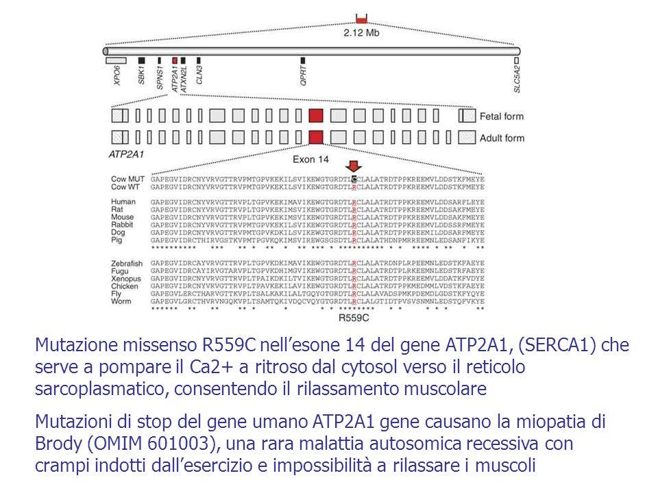 Mutazione missenso R559C nellesone 14 del gene ATP2A1, (SERCA1) che serve a pompare il Ca2+ a ritroso dal cytosol verso il reticolo sarcoplasmatico, c