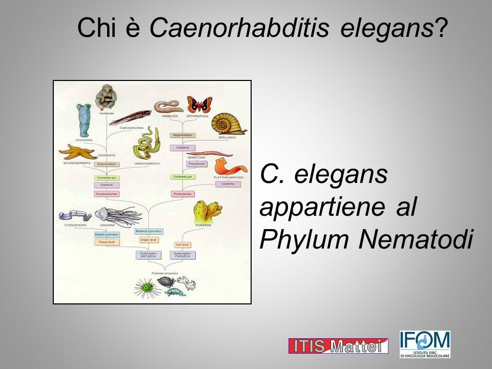 Chi è Caenorhabditis elegans? C. elegans appartiene al Phylum Nematodi