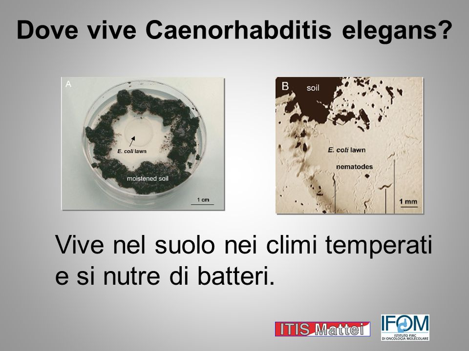 Dove vive Caenorhabditis elegans? Vive nel suolo nei climi temperati e si nutre di batteri.