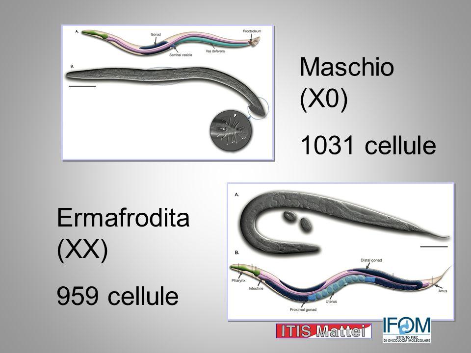 Ermafrodita (XX) 959 cellule Maschio (X0) 1031 cellule