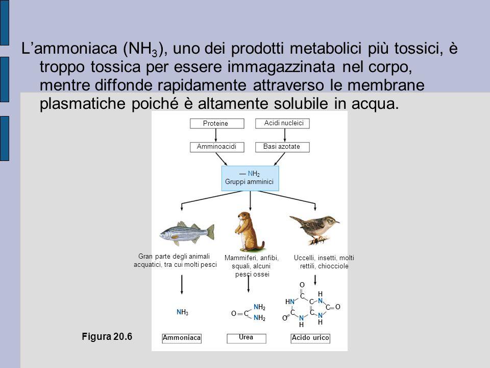 Proteine Acidi nucleici Amminoacidi Basi azotate NH 2 Gruppi amminici Gran parte degli animali acquatici, tra cui molti pesci Mammiferi, anfibi, squali, alcuni pesci ossei Uccelli, insetti, molti rettili, chiocciole NH3NH3 OC NH2NH2 NH2NH2 O C C C O O C C NHNH NHNH HNHN HNHN Acido urico Urea Ammoniaca Figura 20.6 Lammoniaca (NH 3 ), uno dei prodotti metabolici più tossici, è troppo tossica per essere immagazzinata nel corpo, mentre diffonde rapidamente attraverso le membrane plasmatiche poiché è altamente solubile in acqua.
