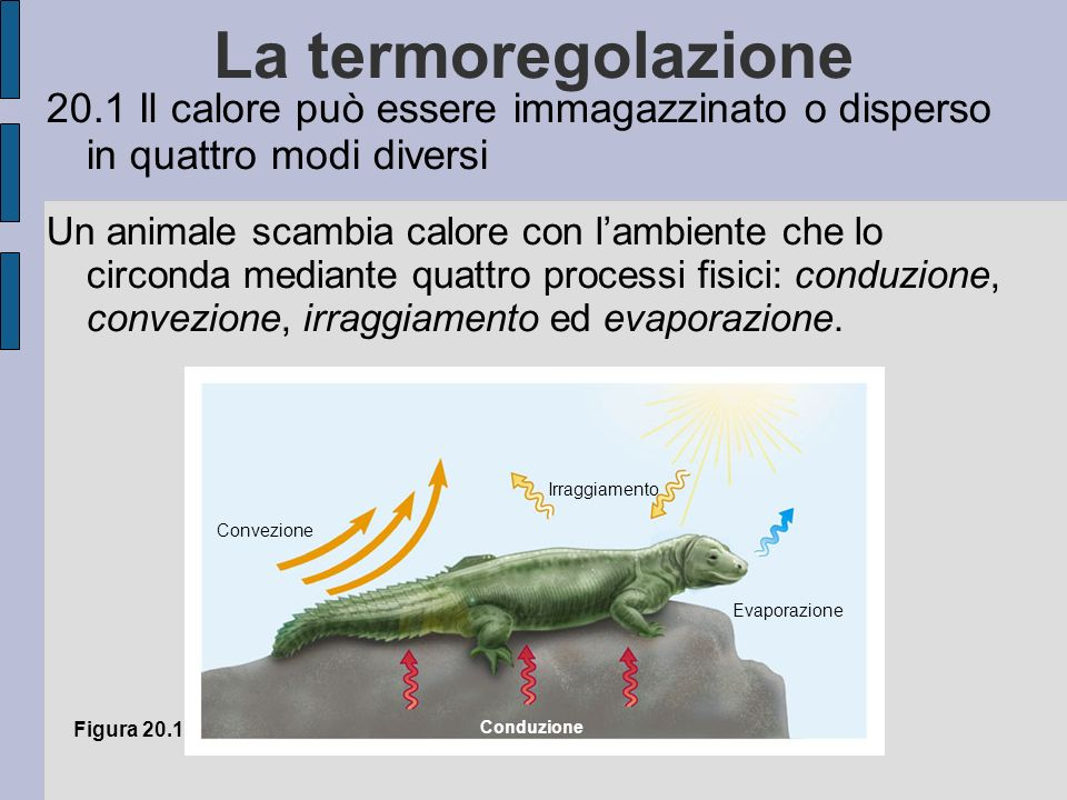 La termoregolazione 20.1 Il calore può essere immagazzinato o disperso in quattro modi diversi Un animale scambia calore con lambiente che lo circonda mediante quattro processi fisici: conduzione, convezione, irraggiamento ed evaporazione.