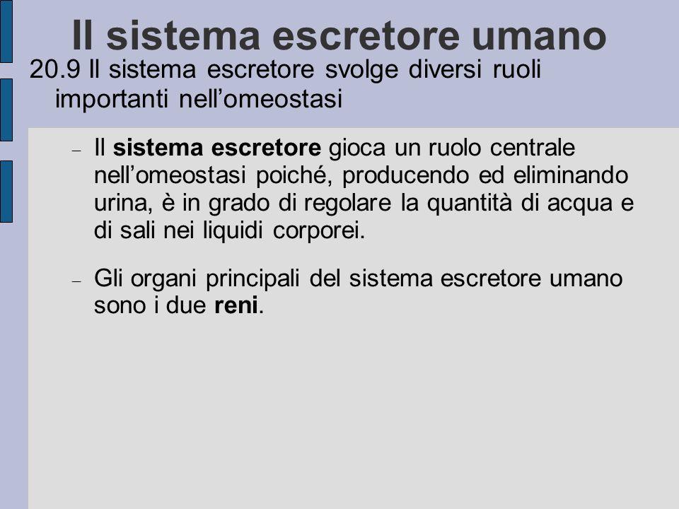 20.9 Il sistema escretore svolge diversi ruoli importanti nellomeostasi Il sistema escretore gioca un ruolo centrale nellomeostasi poiché, producendo ed eliminando urina, è in grado di regolare la quantità di acqua e di sali nei liquidi corporei.