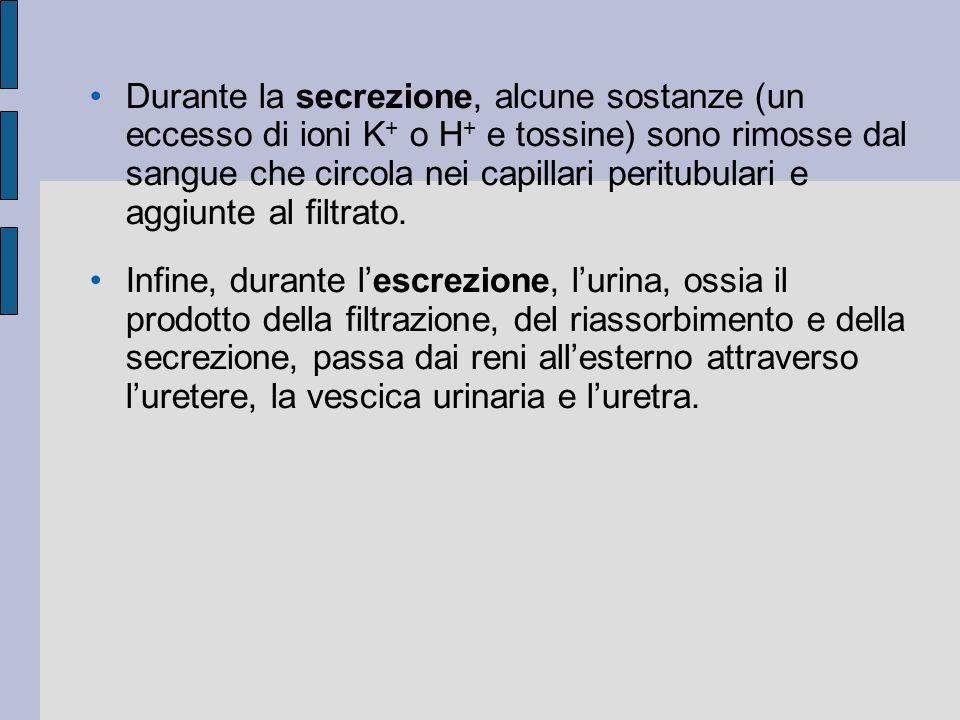 Durante la secrezione, alcune sostanze (un eccesso di ioni K + o H + e tossine) sono rimosse dal sangue che circola nei capillari peritubulari e aggiunte al filtrato.