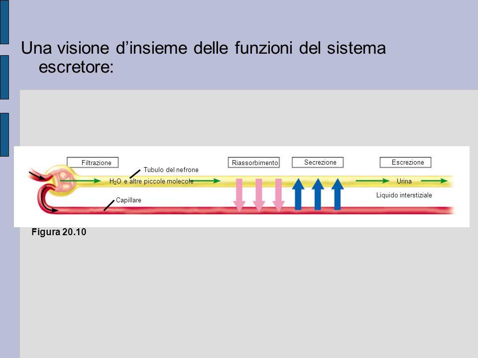 H 2 O e altre piccole molecoleUrina EscrezioneSecrezione RiassorbimentoFiltrazione Capillare Liquido interstiziale Tubulo del nefrone Figura 20.10 Una visione dinsieme delle funzioni del sistema escretore: