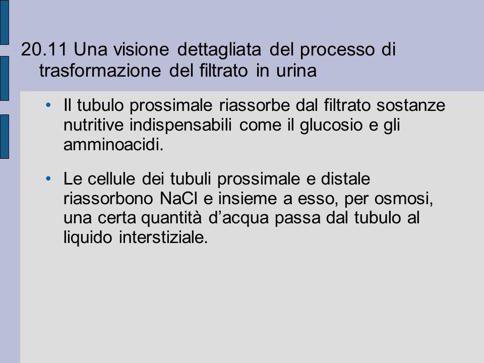 20.11 Una visione dettagliata del processo di trasformazione del filtrato in urina Il tubulo prossimale riassorbe dal filtrato sostanze nutritive indispensabili come il glucosio e gli amminoacidi.
