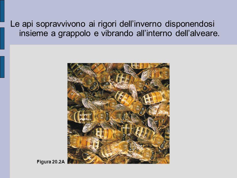 Figura 20.2A Le api sopravvivono ai rigori dellinverno disponendosi insieme a grappolo e vibrando allinterno dellalveare.