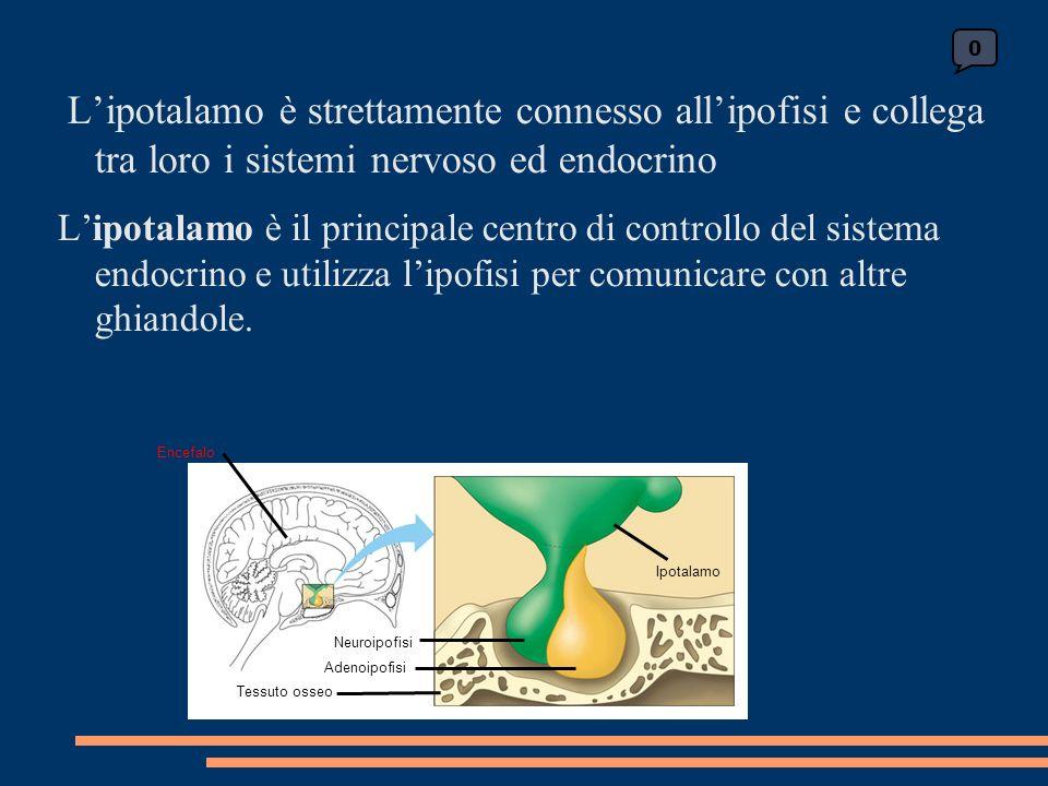 0 Encefalo Neuroipofisi Adenoipofisi Tessuto osseo Ipotalamo Lipotalamo è strettamente connesso allipofisi e collega tra loro i sistemi nervoso ed endocrino Lipotalamo è il principale centro di controllo del sistema endocrino e utilizza lipofisi per comunicare con altre ghiandole.