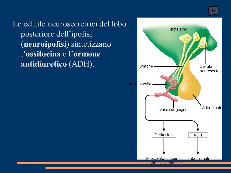 0 Ipotalamo Cellula neurosecretrice Ormone Neuroipofisi Vaso sanguigno OssitocinaADH Muscolatura uterina ghiandole mammarie Tubuli renali Adenoipofisi Le cellule neurosecretrici del lobo posteriore dellipofisi (neuroipofisi) sintetizzano lossitocina e lormone antidiuretico (ADH).