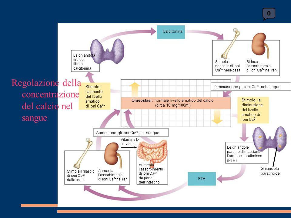 0 Calcitonina Stimola il deposito di ioni Ca 2+ nelle ossa Riduce lassorbimento di ioni Ca 2+ nei reni Stimolo: la diminuzione del livello ematico di ioni Ca 2+ Le ghiandole paratiroidi rilasciano lormone paratiroideo (PTH) Ghiandola paratiroide PTH Aumenta lassorbimento di ioni Ca 2+ da parte dellintestino Aumenta lassorbimento di ioni Ca 2+ nei reni Stimola il rilascio di ioni Ca 2+ dalle ossa Vitamina D attiva Aumentano gli ioni Ca 2+ nel sangue Omeostasi: normale livello ematico del calcio (circa 10 mg/100ml) Stimolo: laumento del livello ematico di ioni Ca 2+ La ghiandola tiroide libera calcitonina Diminuiscono gli ioni Ca 2+ nel sangue Regolazione della concentrazione del calcio nel sangue
