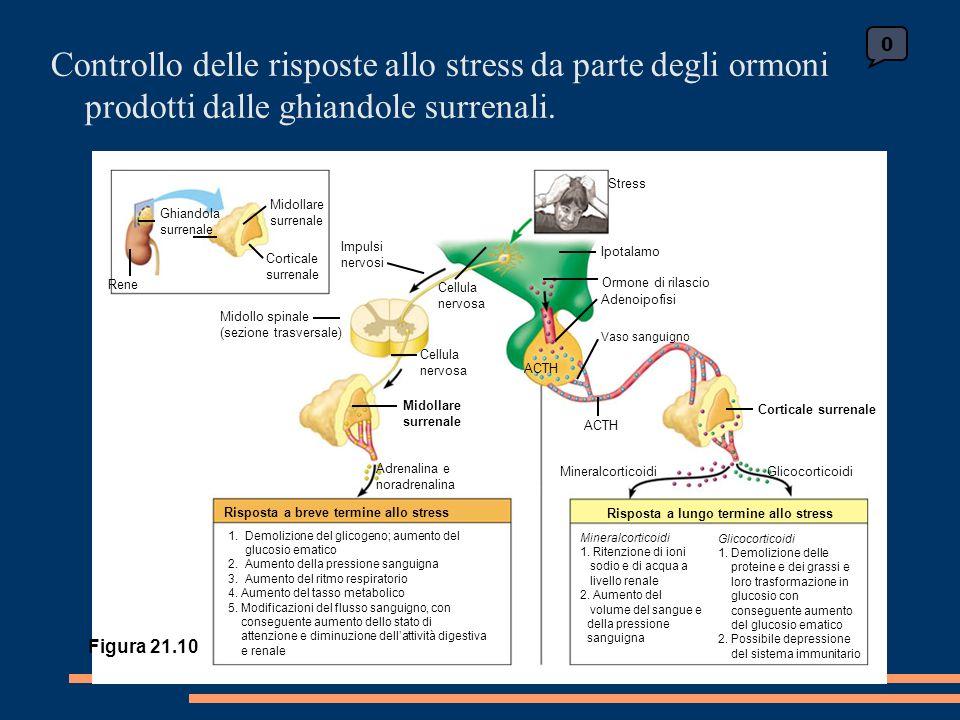 0 Ghiandola surrenale Midollare surrenale Corticale surrenale Rene Midollo spinale (sezione trasversale) Impulsi nervosi Cellula nervosa Cellula nervosa Midollare surrenale Adrenalina e noradrenalina Risposta a breve termine allo stress 1.