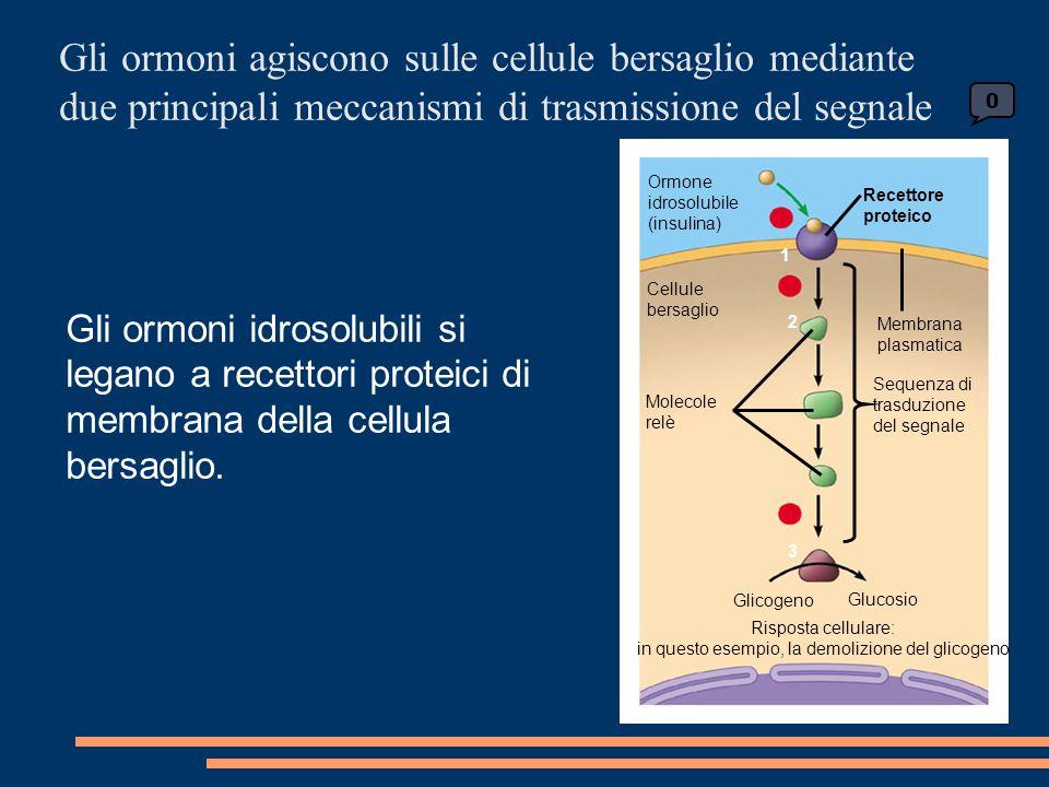 Gli ormoni agiscono sulle cellule bersaglio mediante due principali meccanismi di trasmissione del segnale Ormone idrosolubile (insulina) Recettore proteico Cellule bersaglio Molecole relè Membrana plasmatica Sequenza di trasduzione del segnale Glicogeno Glucosio Risposta cellulare: in questo esempio, la demolizione del glicogeno 0 1 2 3 Gli ormoni idrosolubili si legano a recettori proteici di membrana della cellula bersaglio.