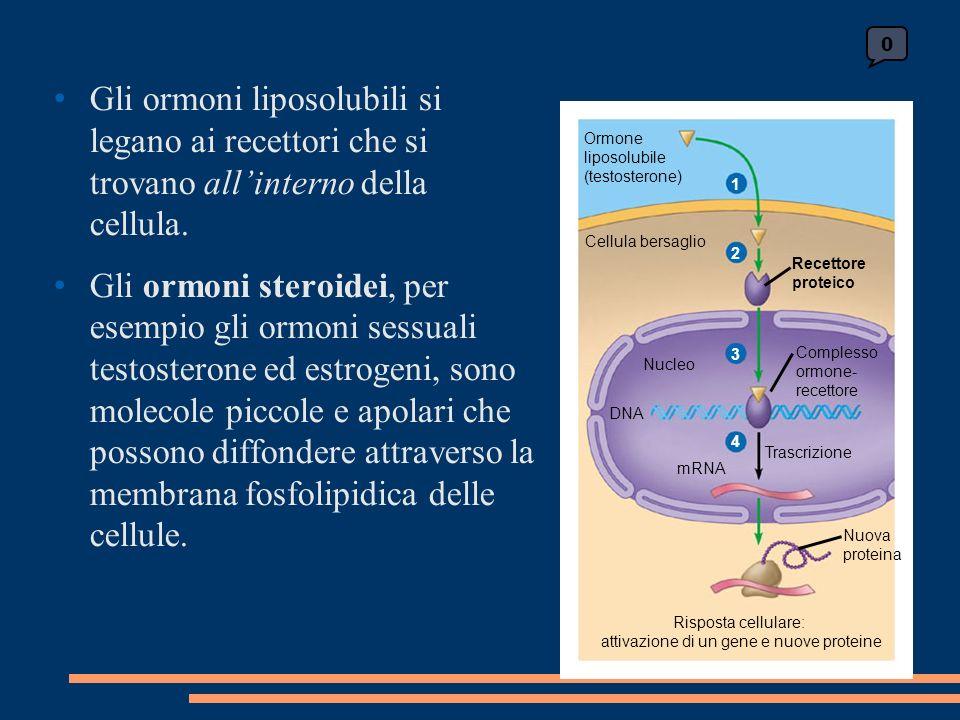 0 Ormone liposolubile (testosterone) Cellula bersaglio Recettore proteico Complesso ormone- recettore Nucleo DNA mRNA Trascrizione Nuova proteina Risposta cellulare: attivazione di un gene e nuove proteine Gli ormoni liposolubili si legano ai recettori che si trovano allinterno della cellula.