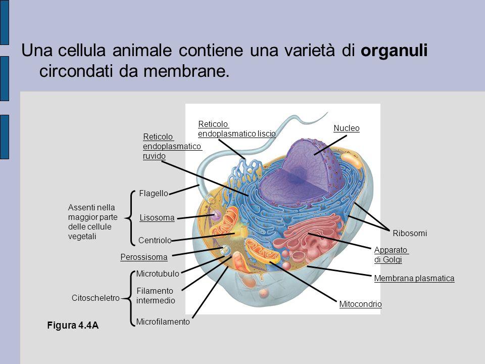 Una cellula animale contiene una varietà di organuli circondati da membrane.