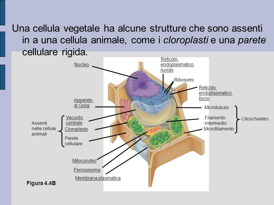 Una cellula vegetale ha alcune strutture che sono assenti in a una cellula animale, come i cloroplasti e una parete cellulare rigida.