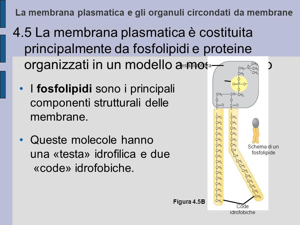 La membrana plasmatica e gli organuli circondati da membrane 4.5 La membrana plasmatica è costituita principalmente da fosfolipidi e proteine organizzati in un modello a mosaico fluido I fosfolipidi sono i principali componenti strutturali delle membrane.