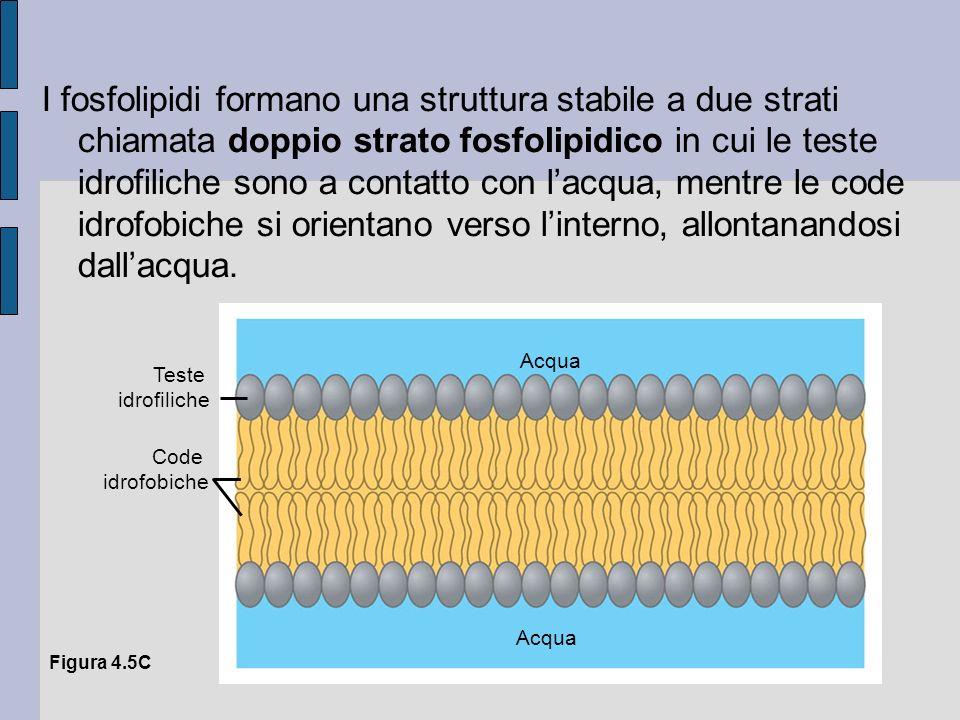 I fosfolipidi formano una struttura stabile a due strati chiamata doppio strato fosfolipidico in cui le teste idrofiliche sono a contatto con lacqua, mentre le code idrofobiche si orientano verso linterno, allontanandosi dallacqua.