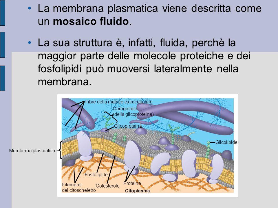 La membrana plasmatica viene descritta come un mosaico fluido.