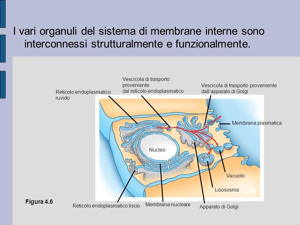 I vari organuli del sistema di membrane interne sono interconnessi strutturalmente e funzionalmente.