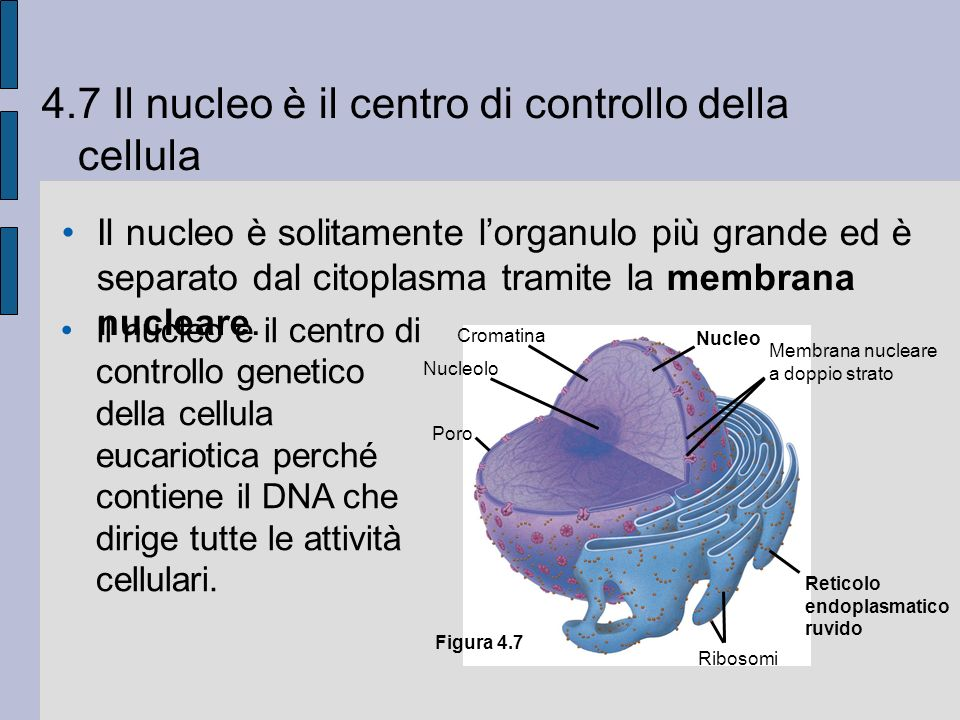 4.7 Il nucleo è il centro di controllo della cellula Il nucleo è solitamente lorganulo più grande ed è separato dal citoplasma tramite la membrana nucleare.