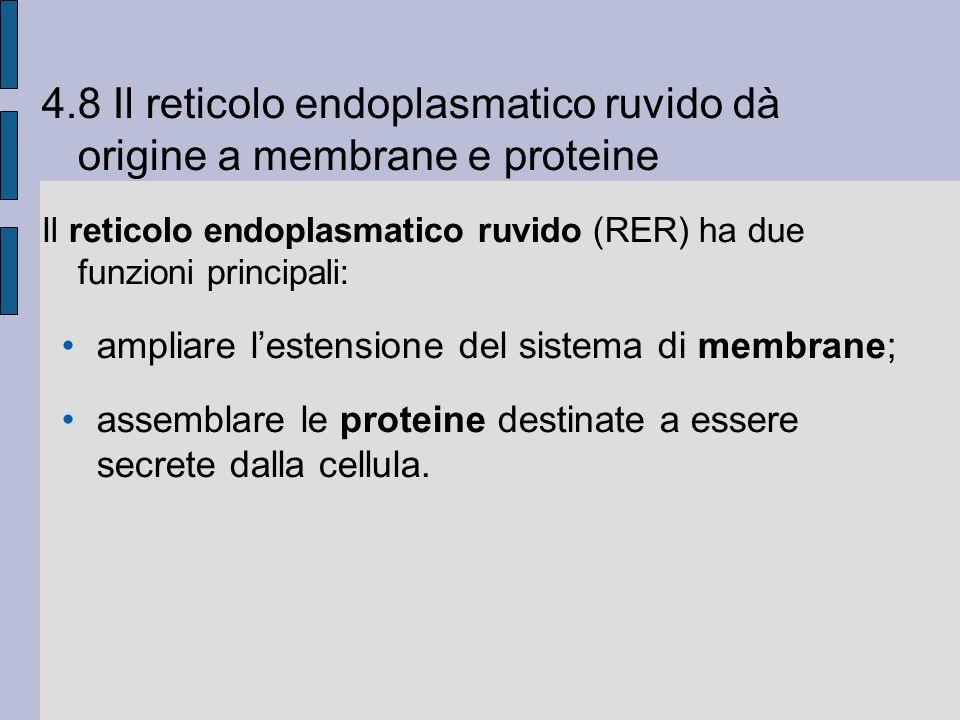 4.8 Il reticolo endoplasmatico ruvido dà origine a membrane e proteine Il reticolo endoplasmatico ruvido (RER) ha due funzioni principali: ampliare lestensione del sistema di membrane; assemblare le proteine destinate a essere secrete dalla cellula.