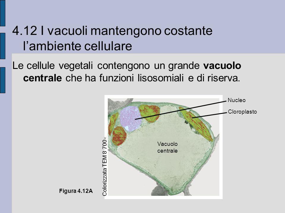 4.12 I vacuoli mantengono costante lambiente cellulare Le cellule vegetali contengono un grande vacuolo centrale che ha funzioni lisosomiali e di riserva.