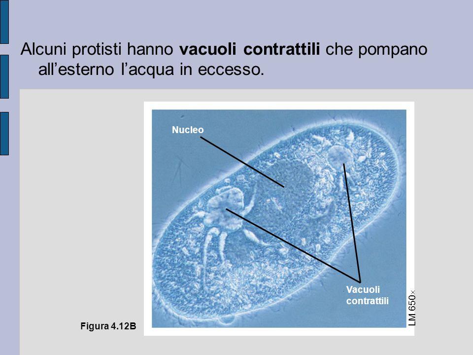 Alcuni protisti hanno vacuoli contrattili che pompano allesterno lacqua in eccesso.