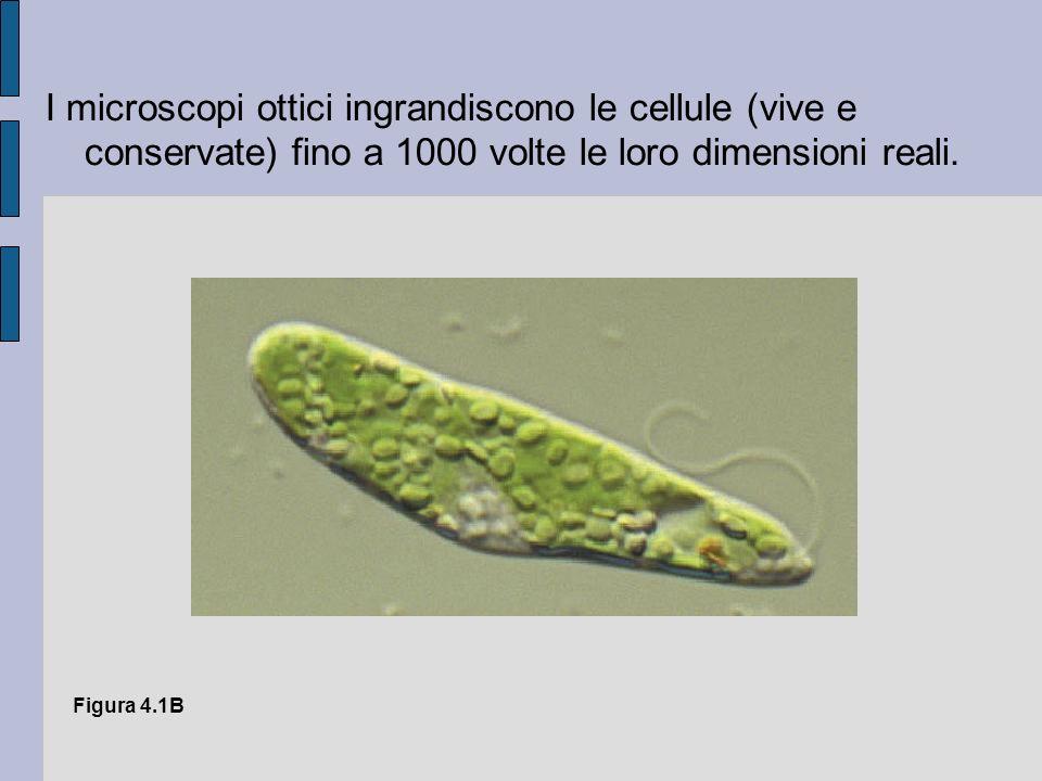 I microscopi ottici ingrandiscono le cellule (vive e conservate) fino a 1000 volte le loro dimensioni reali.