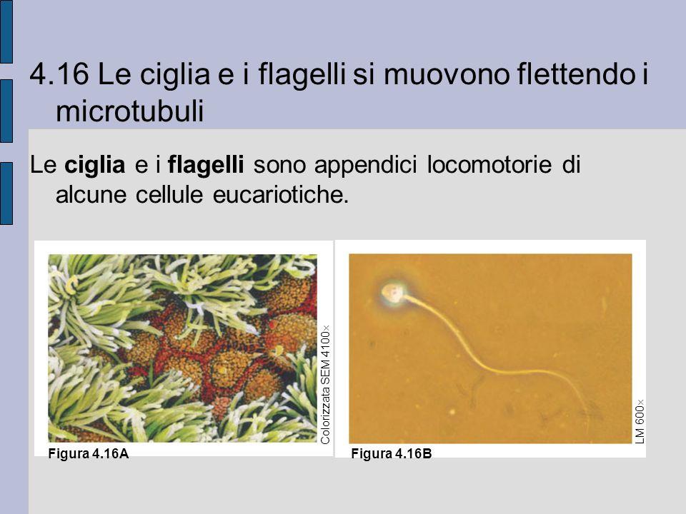4.16 Le ciglia e i flagelli si muovono flettendo i microtubuli Le ciglia e i flagelli sono appendici locomotorie di alcune cellule eucariotiche.