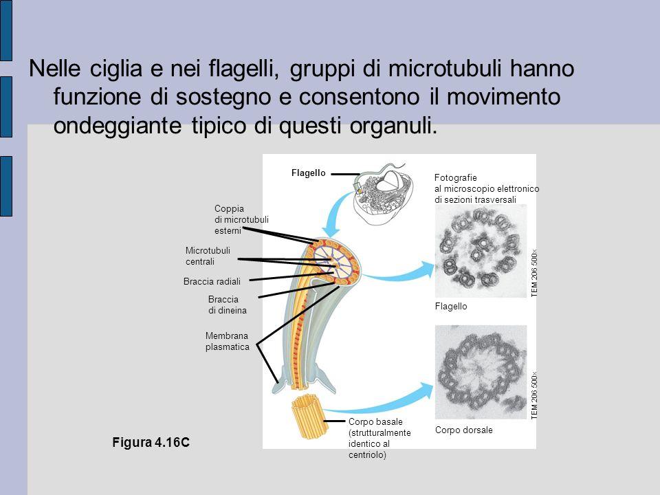 Nelle ciglia e nei flagelli, gruppi di microtubuli hanno funzione di sostegno e consentono il movimento ondeggiante tipico di questi organuli.