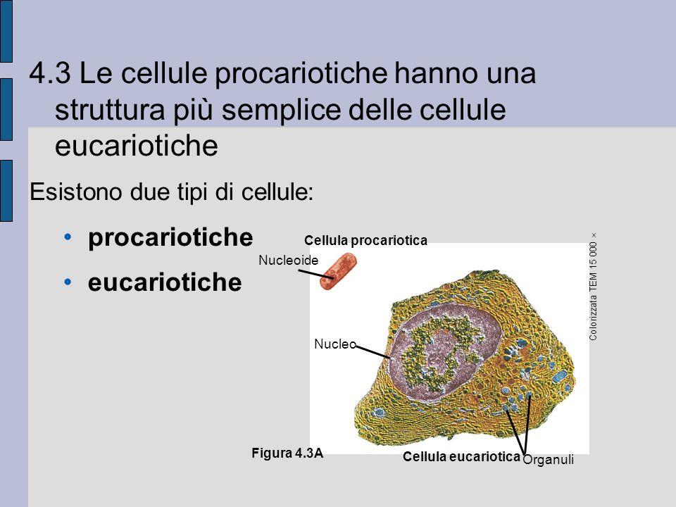 4.3 Le cellule procariotiche hanno una struttura più semplice delle cellule eucariotiche Esistono due tipi di cellule: procariotiche eucariotiche Cellula procariotica Nucleoide Nucleo Cellula eucariotica Organuli Colorizzata TEM 15 000 Figura 4.3A