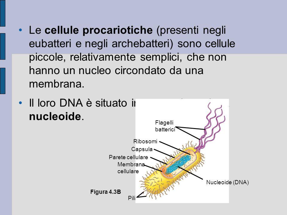 Il citoscheletro e le strutture ad esso correlate 4.15 Lo scheletro delle cellule è costituito da microtubuli, microfilamenti e filamenti intermedi Il citoscheletro è costituito da una rete di fibre proteiche di sostegno.