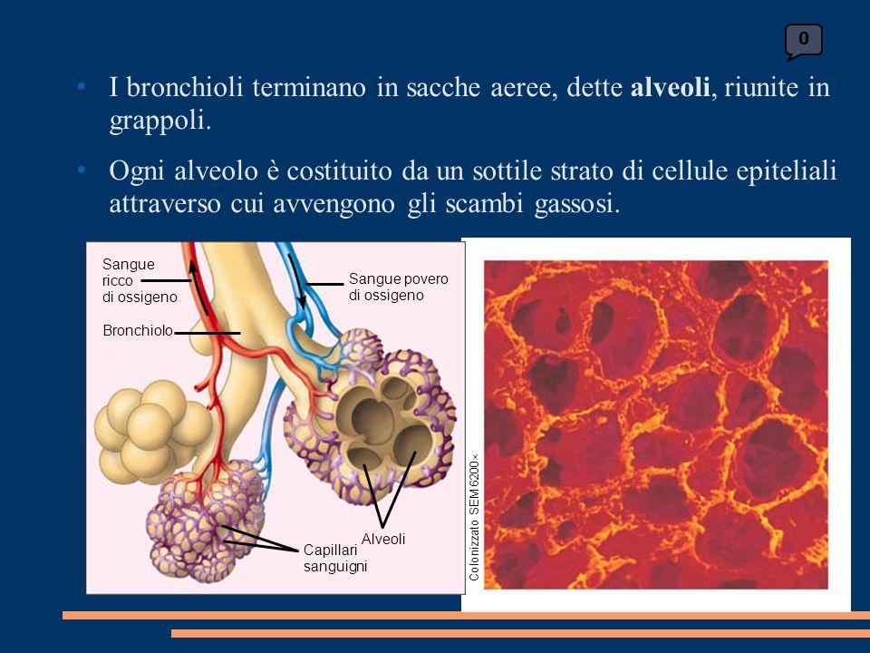 I bronchioli terminano in sacche aeree, dette alveoli, riunite in grappoli.