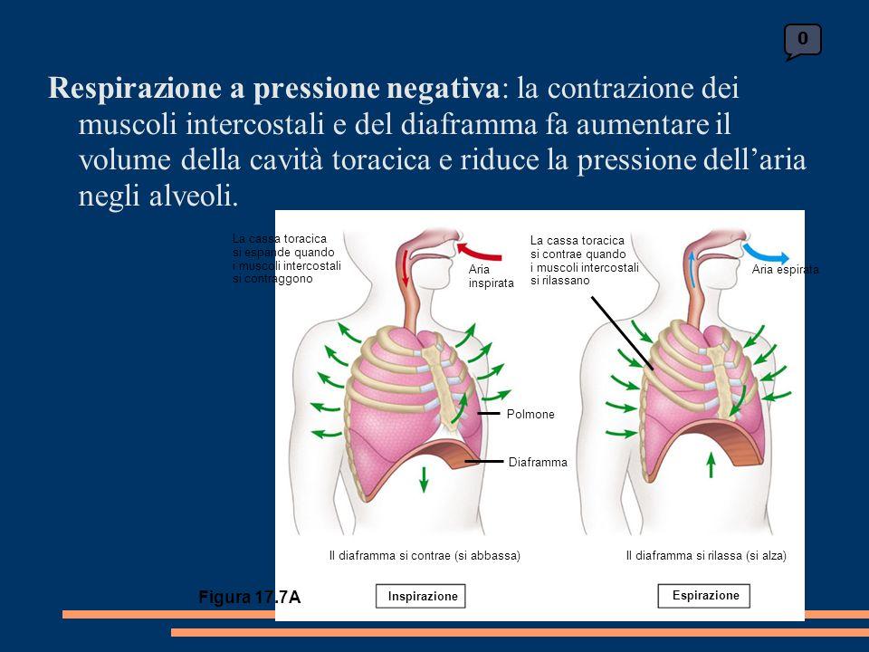 0 La cassa toracica si espande quando i muscoli intercostali si contraggono Aria inspirata La cassa toracica si contrae quando i muscoli intercostali si rilassano Aria espirata Polmone Diaframma Il diaframma si rilassa (si alza)Il diaframma si contrae (si abbassa) Inspirazione Espirazione Figura 17.7A Respirazione a pressione negativa: la contrazione dei muscoli intercostali e del diaframma fa aumentare il volume della cavità toracica e riduce la pressione dellaria negli alveoli.