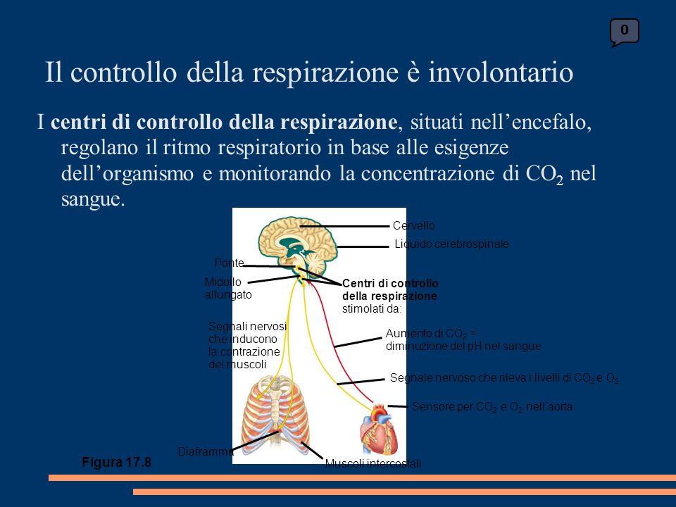 Il controllo della respirazione è involontario I centri di controllo della respirazione, situati nellencefalo, regolano il ritmo respiratorio in base alle esigenze dellorganismo e monitorando la concentrazione di CO 2 nel sangue.