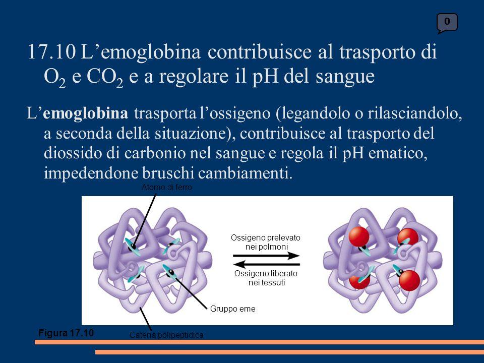 17.10 Lemoglobina contribuisce al trasporto di O 2 e CO 2 e a regolare il pH del sangue Lemoglobina trasporta lossigeno (legandolo o rilasciandolo, a seconda della situazione), contribuisce al trasporto del diossido di carbonio nel sangue e regola il pH ematico, impedendone bruschi cambiamenti.