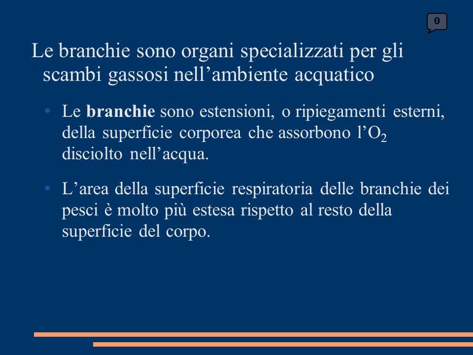 Le branchie sono organi specializzati per gli scambi gassosi nellambiente acquatico Le branchie sono estensioni, o ripiegamenti esterni, della superficie corporea che assorbono lO 2 disciolto nellacqua.